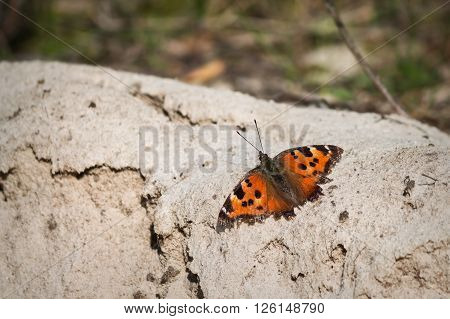 orange butterfly urticaria closeup on a background of sand