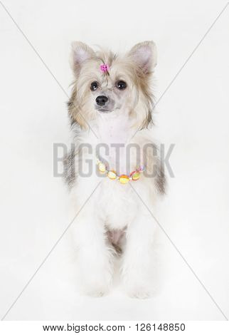 Cute Chinese Crested dog (Powderpuff variety puppy) wearing beads and a hair clip on a white background