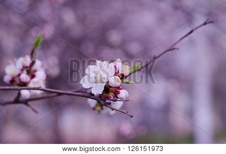 Macro shot of beautiful apricot flowers in the morning mist (selective focus on the flower shallow DOF) in pink tones