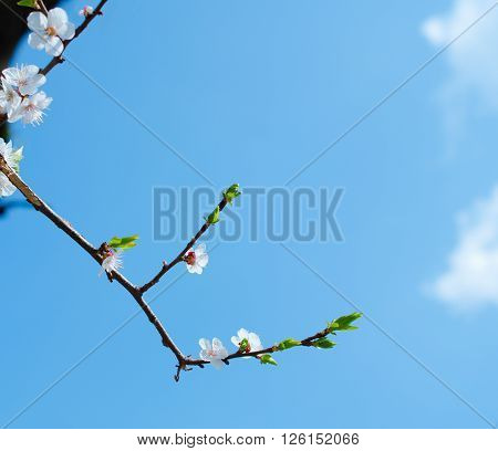 Branch with buds of apricot flowers against the background of a blue sky with copy space on the right for your text