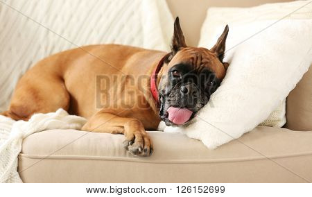 Boxer dog lying on a couch at home