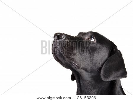 Portrait of a black Labrador Retriever looking up (isolated on white with copy space on the left for your text)
