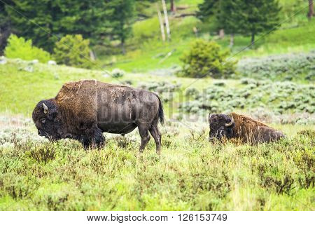 Two adult buffaloes in Yellowstone National Park, Wyoming, USA