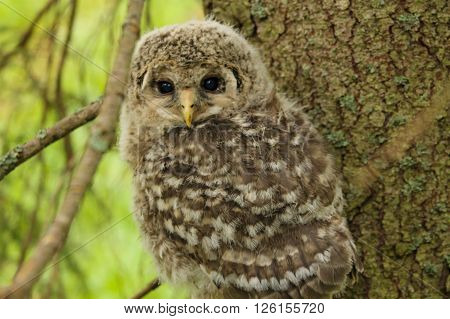 Cute Ural Owls cub. This cub left its nest and was sitting on a branch
