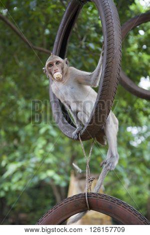 Lean rhesus macaque swings on the wheel and eating.
