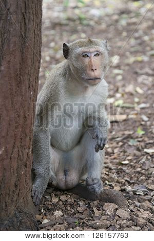 Male rhesus macaques sitting at a tree in the jungle of Thailand.