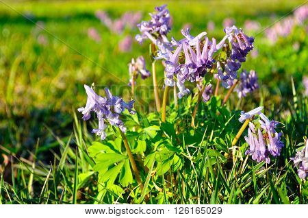 Blossom of Corydalis halleri or Corydalis solida - spring landscape with beautiful small violet flowers of Corydalis under sunset light