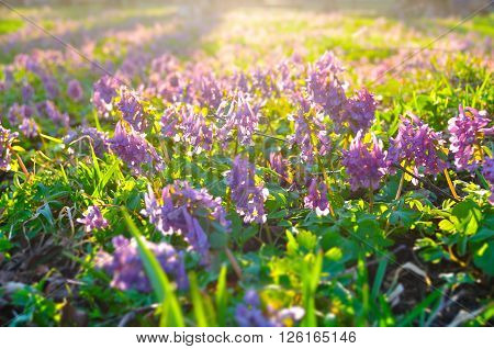 The lawn covered with blossoming Corydalis halleri or Corydalis solida - spring sunset landscape with small mauve flowers of Corydalis. Shallow depth of field. Selective focus at the central flowers.