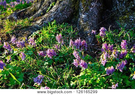 Spring sunny landscape - Corydalis halleri or Corydalis solida in bloom under the tree in the forest. Shallow depth of field. Selective focus at the central flowers.