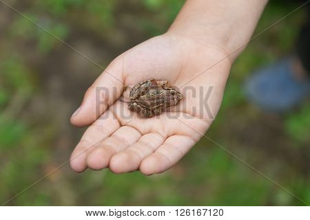 Small frog on the palm of child's hand