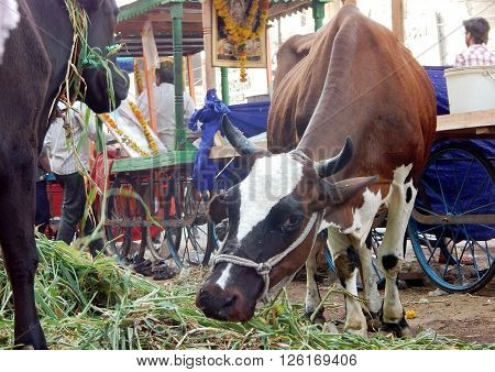HYDERABAD,INDIA-MARCH 24:Hindus feed the cows as a traditional practice every day in a busy market where cows are brought and fed on March 24,2016 in Hyderabad,India