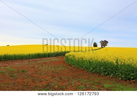 Flowering fields of canola growing in rich red farming soils of rural Australia ** Note: Soft Focus at 100%, best at smaller sizes