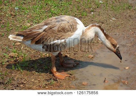 Closeup photo of a duck drinking water