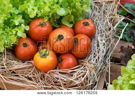 fresh tomatoes and Hydroponic vegetables in a wooden crate