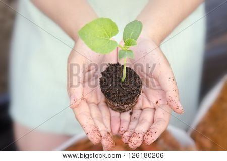 Hand Grows Melon Sprout In Small Home Garden
