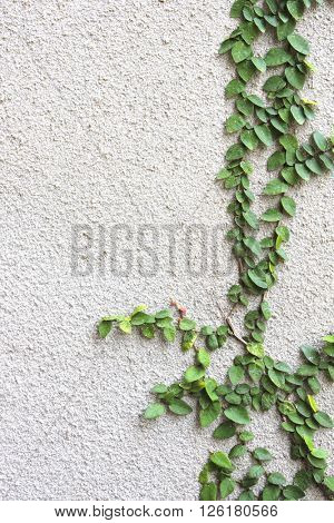Ivy on stucco wall of grey color
