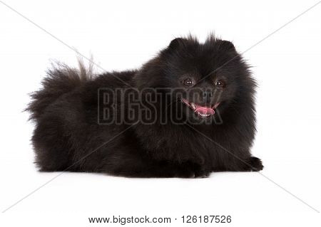 black pomeranian spitz dog posing on white