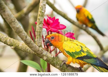Two lovebirds eating plumeria on tree.Head focus.