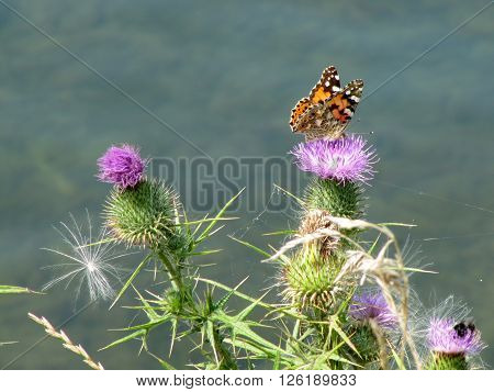 Butterfly Sitting on a Thistle Flower / Painted Lady Butterfly on Purple Thistle Flower