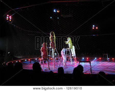 Moira Orfei Circus - tigers