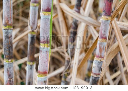 Sugar cane in field in asia field
