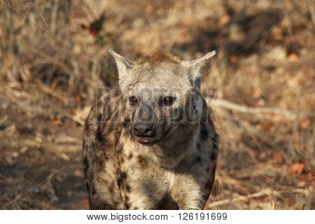 Spotted hyena in mid-angle shot, looking past the camera. He stands in a clearing of veld in the Kruger National Park, South Africa.