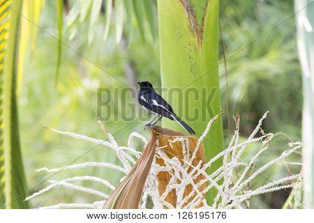 Black billed magpie bird sitting on a tree