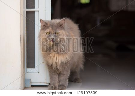 Close up of old female persian cat sitting on the ground.