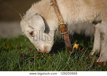 Lamb grazing on a farm