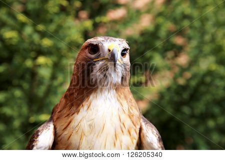 Front Side Head Shot Of A Red-tailed Hawk