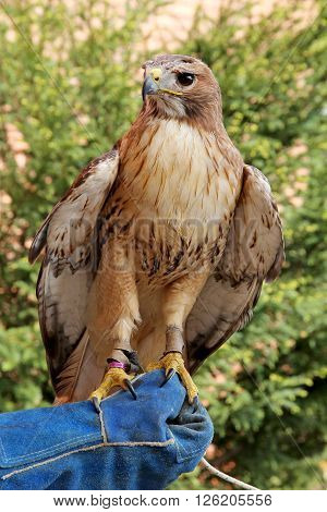 Bird of prey red-tailed hawk known in the United States as chickenhawk