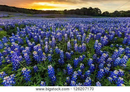 Beautiful Bluebonnets field at sunset near Austin Texas in spring