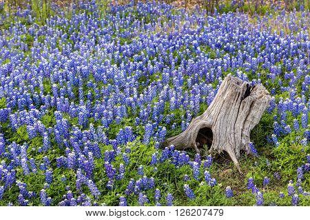 Beautiful Texas Bluebonnets field and tree Stump