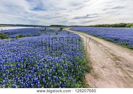 Texas Wild Bluebonnet Filed  In Muleshoe Bend Near Austin, Tx