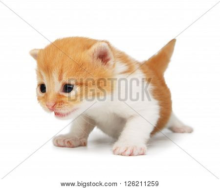Cute orange red and white kitten. Cute serious kitten 2 weeks old, creeping and growling isolated at white background. Adorable pet. Small heartwarming kitten. Little cat. Closeup isolated. High key