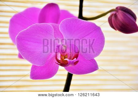 Pink orchid on straw background, closeup view ** Note: Visible grain at 100%, best at smaller sizes