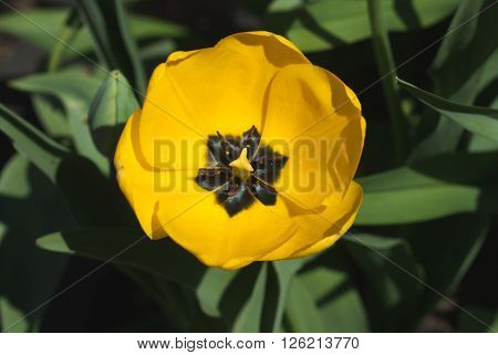 Yellow tulips in the spring garden. Closeup.