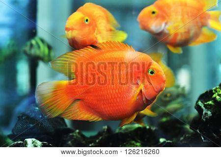 view of beautiful goldfish in freshwater aquarium