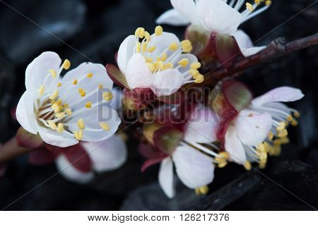Cherry flower on a black background. The blossoming apple-tree. The blossoming cherry. The blossoming apricot.