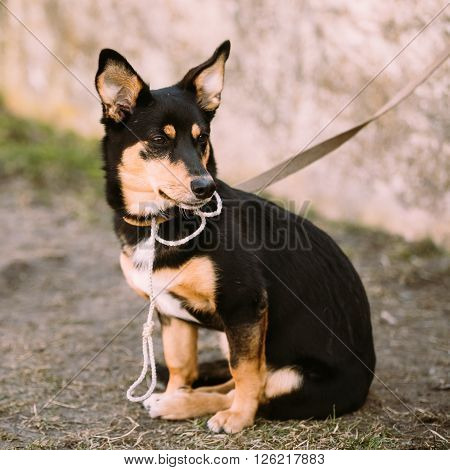 Mixed Breed Small Size Dog Sits On Leash Outdoor.
