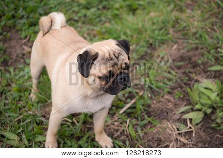 A pug puppy looking straight forward outdoors