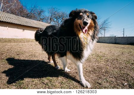 Funny Young Shetland Sheepdog, Sheltie, Collie Dog Play Outdoor. Wide Angel Photo