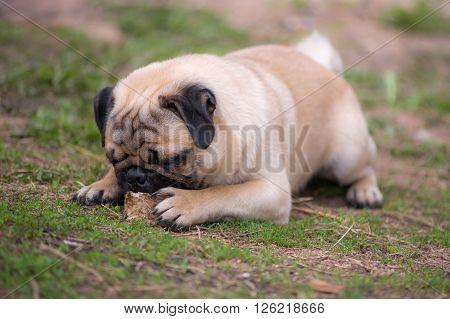 Pug puppy gnaws a bone in the open air