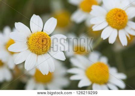 White camomiles. White daisies. A bush of white daisies in a solar field. ?amomiles in the field.