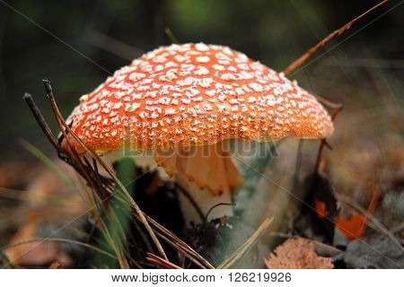 Side View Of A Red Mushroom With White Dots, Dry Leaves On The Background