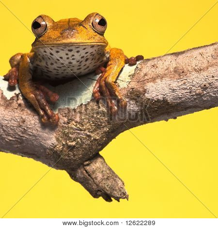 Tree Frog Background With Copy Space