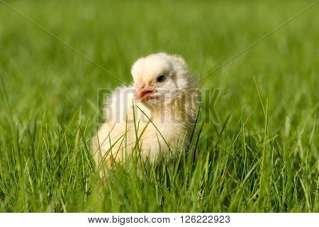 Newly-hatched Chick On A Green Grass