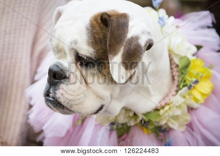 NEW YORK - MAR 27 2016: A dog wearing an Easter costume with flowers sits at Rockefeller Center Plaza off 5th Ave Easter Sunday at the traditional Easter Bonnet Parade in Manhattan on March 27, 2016.
