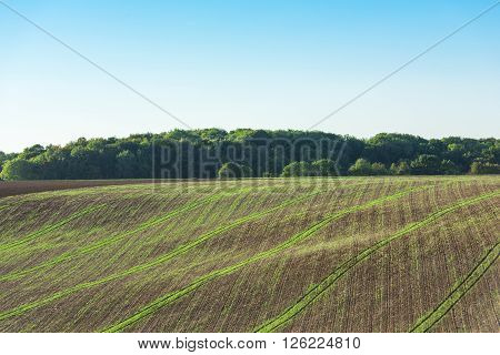 Agricultural field on a hill with young sprouts. Horizontal shot