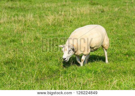 Sheep Eats Green Grass At Farm